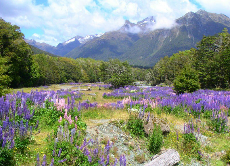 New Zealand Violet field